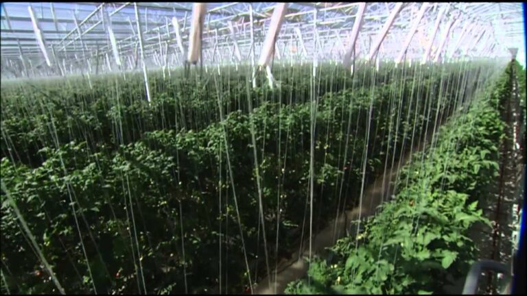 AN OVERVIEW OF TOMATO CULTIVATION IN NEPAL